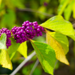 Beautyberry for Blog